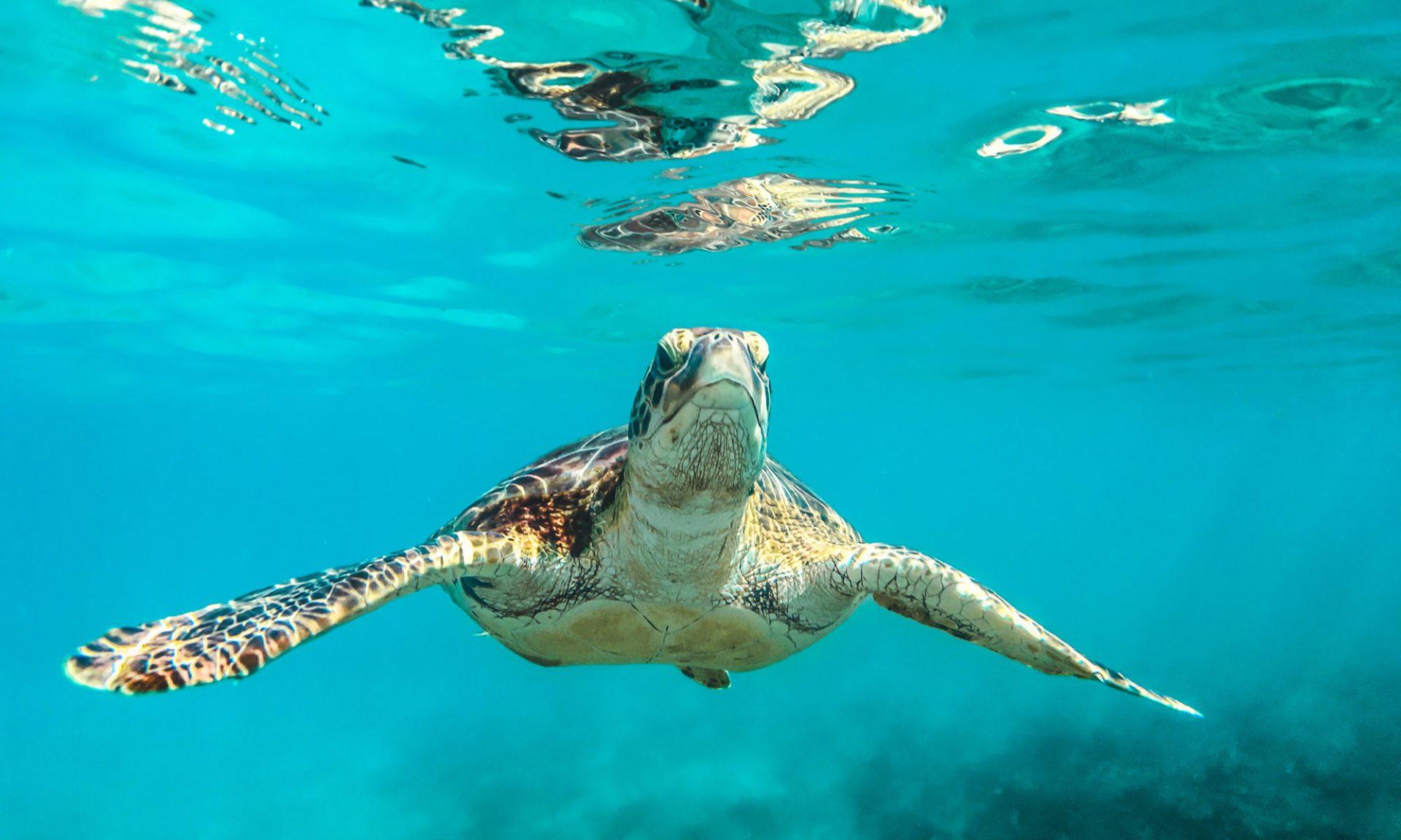Schildkröte, Karibik