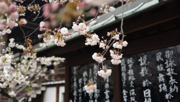 Kirschblüte in Osaka, Japan