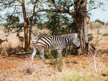 Zebra in Südafrika